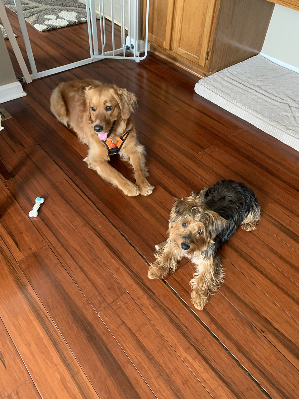 Two dogs laying down on a home wooden floor.
